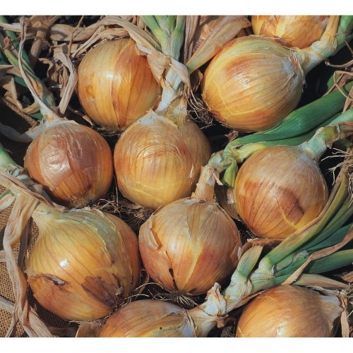 Vegetable - Onion - Bedfordshire Champion - 200 Seeds