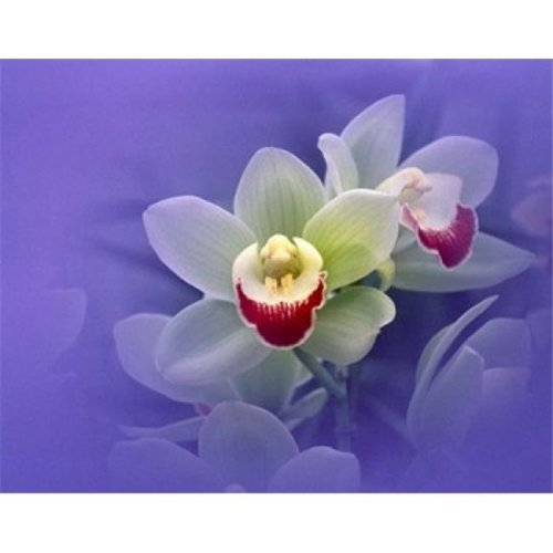Waxy white orchids with fuchsia centers floating in purple water Poster Print by  - 24 x 19