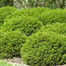 Green Mound Evergreen Salver Shaped Flowers Hardy Garden Plant in Pot