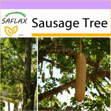 SAFLAX  - Sausage Tree - Kigelia pinnata var. africana - 10 seeds