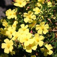 Halimium Llibanotis Wooly Rock Rose 5 Petalled Evergreen Yellow Flower