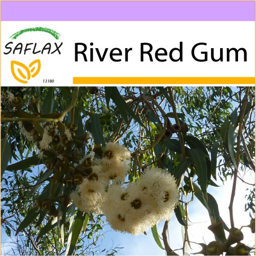 SAFLAX  - River Red Gum - Eucalyptus camaldulensis - 200 seeds