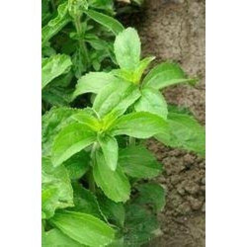 Herb - Stevia - 40 Seeds