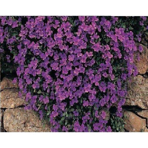 Flower - Aubrieta Deltoidea - Royal Violet - 1500 Seeds