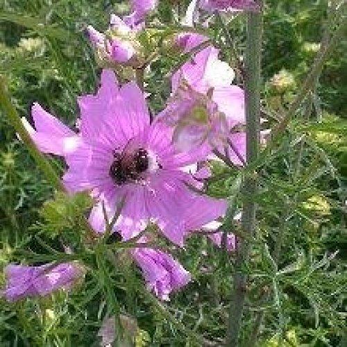 Wild Flower - Musk Mallow - Malva Moschata - 500 Seeds