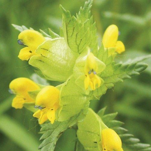 3000 Yellow Rattle Wildflower Seeds | Rhinanthus Minor Seeds