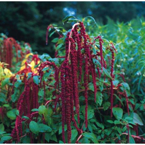 Flower - Amaranthus - Caudatus Red -  Love Lies Bleeding - 500 Seeds