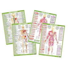 Muscle Anatomy Posters Set of 4