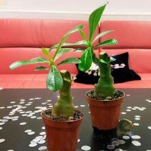 Rare Adenium Obesum Desert Rose Impala Lily Succulent House Plant in Pot Office