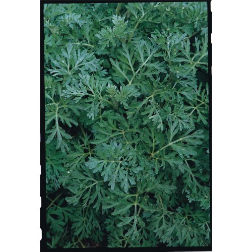 Herb - Wormwood - 500 Seeds